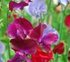 Sweet Pea Birth Flower