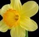 Daffodil Birth Month Flower